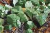 Tabula_08 Drúza kryštálov euchroitu Cu ložiska Ľubietová-Svätodušná